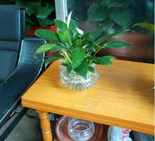 爆款——林苑花卉一帆风顺水养植物