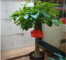 林苑花卉 吸收甲醛的发财树