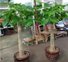 林苑花卉 净化空气的发财树